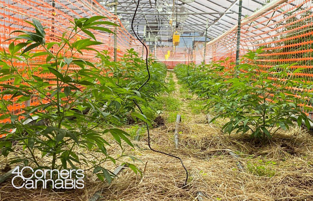 4 Corners Cannabis Hemp Greenhouse