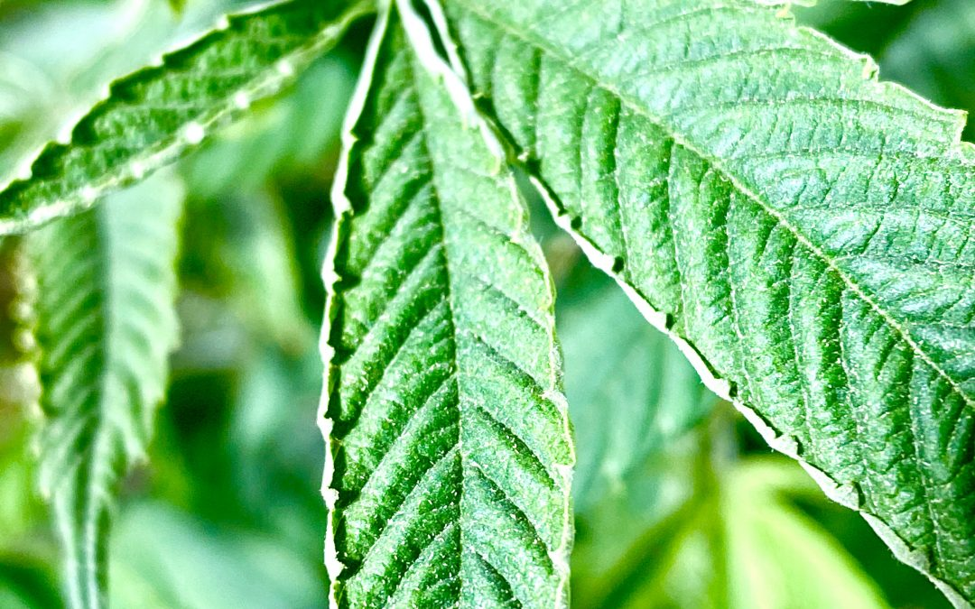 Russet Mites and How They Bug Hemp Farmers