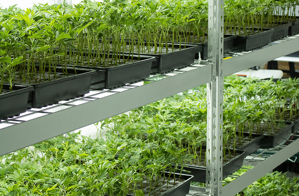 Cannabis Clones On Shelves Under Lights